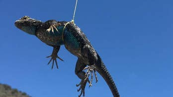 Nevada wildlife officials fear reptile populations are not rebounding due to limitless stocks from collectors