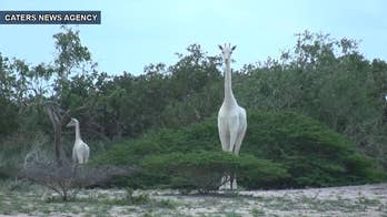 In an extremely rare moment in nature, not one but two white giraffes have been captured on film out in the open