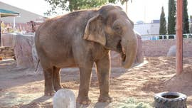 Juno the elephant is being treated with electrochemotherapy, an unprecdented approach to helping an elephant with cancer.