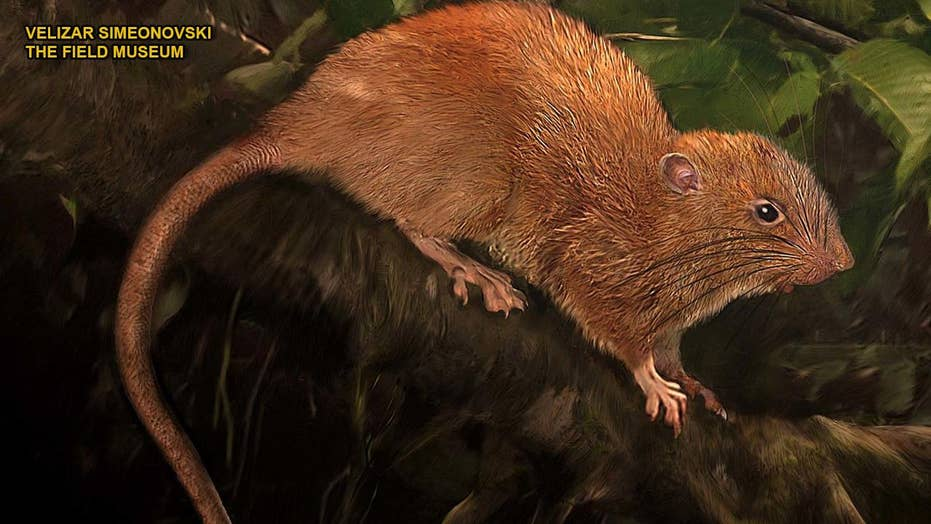 Giant tree-dwelling rat found in Solomon Islands