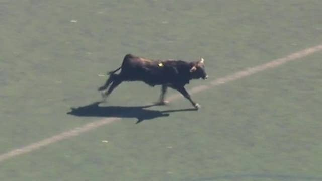 Runaway cow in Brooklyn park evades capture for hours