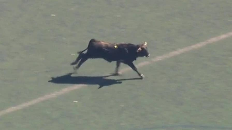 Raw video: New York authorities attempt to capture bovine that escaped slaughterhouse and ran wild in Prospect Park.