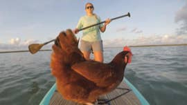 Floridians out in the Keys might do a double take when they spot a woman paddleboarding with her pet chicken, but the owner it's an activity she and the bird both enjoy.