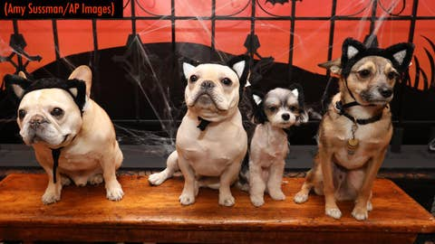 This Halloween's cutest  pet costumes  fashion show