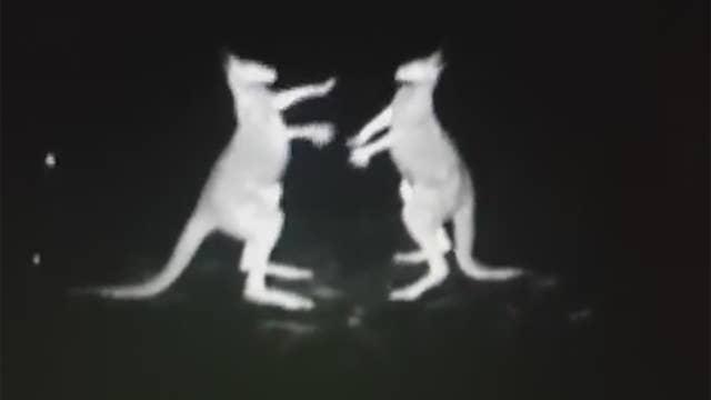 Fighting kangaroos filmed on cop chopper's infrared camera
