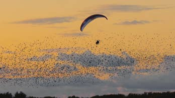 Raw video: Paragliding world champion Horacio Llorens soars through the air with thousands of starlings during 'Black Sun' in Denmark.