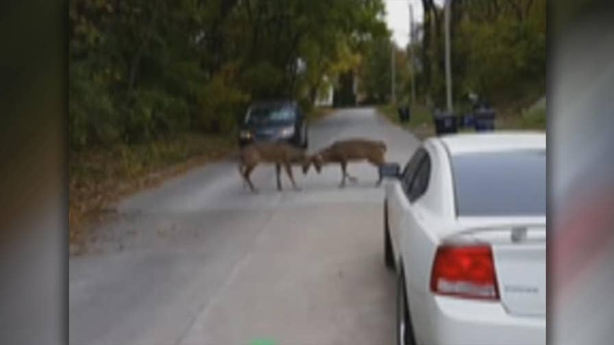 Raw video: Full-grown deer lock antlers in fight blocking traffic in Moline, Illinois.