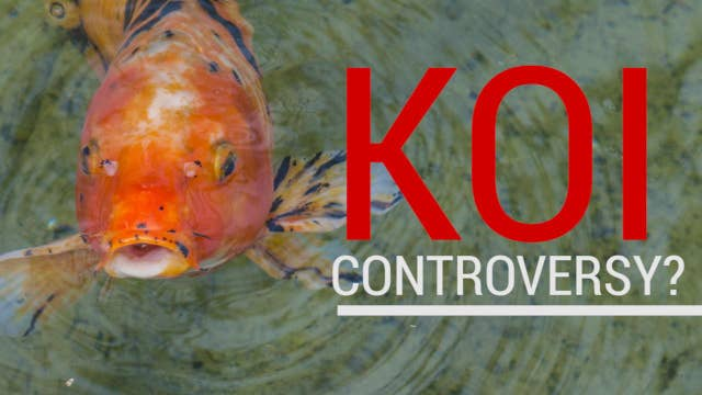 What trump koi fish controversy watch what really for Artificial koi fish