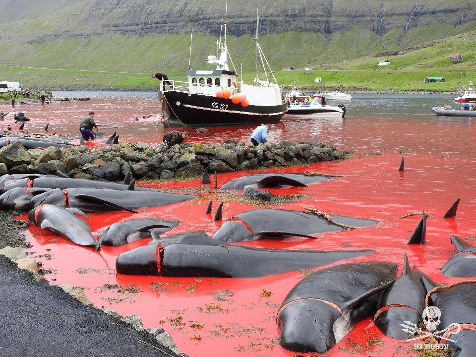 Grisly pics show mass whale slaughter in remote Faroe Islands hunts