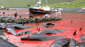 Graphic content warning: Activists from Sea Shepherd Global documented the slaughter of more than 500 whales and dolphins during a recent series of whale hunts in the Faroe Islands.  While the Faroe Island government claims it is part of its history and way of life, the shocking photos show blood filled waters and piles of dead animal carcasses. Viewer discretion is advised.