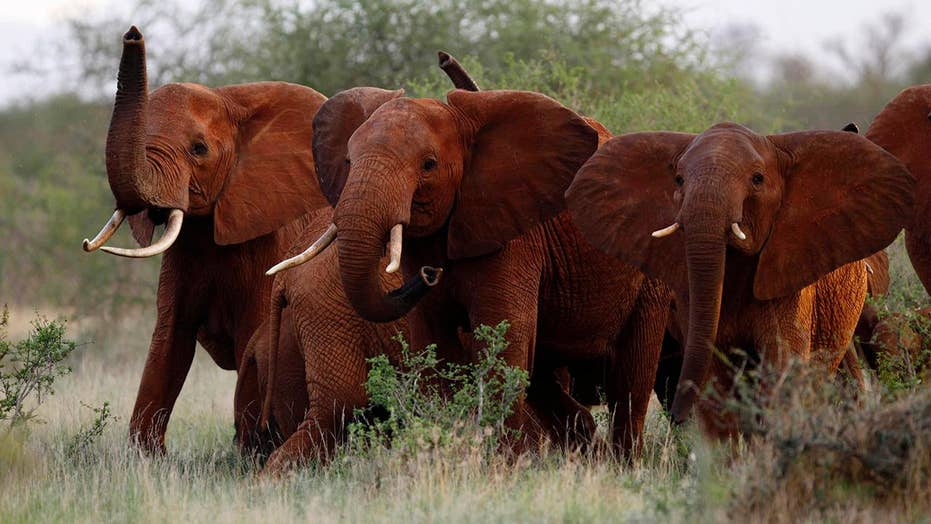 President Trump reversing elephant trophy ban