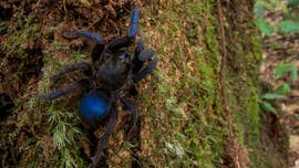 Scientists have discovered a stunning blue tarantula among a host of new species in South America.