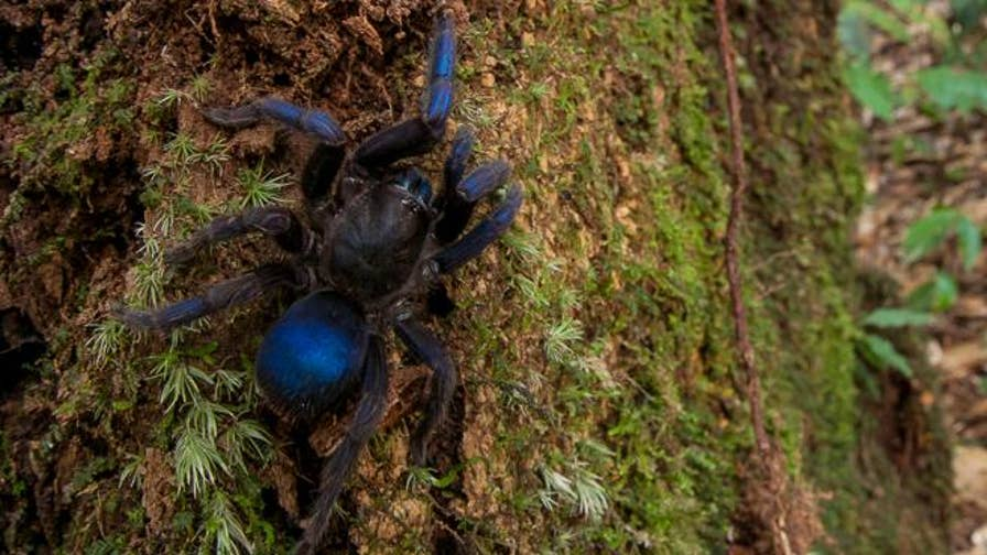 A striking blue tarantula is just one of the newly discovered gems in the South American country of Guyana. Thirty species that are 'likely new' to science have been discovered during a month-long survey at the Kaieteur National Park and the Upper Potaro region of Guyana.