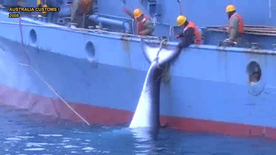 Graphic video shows gruesome Japanese whaling operations