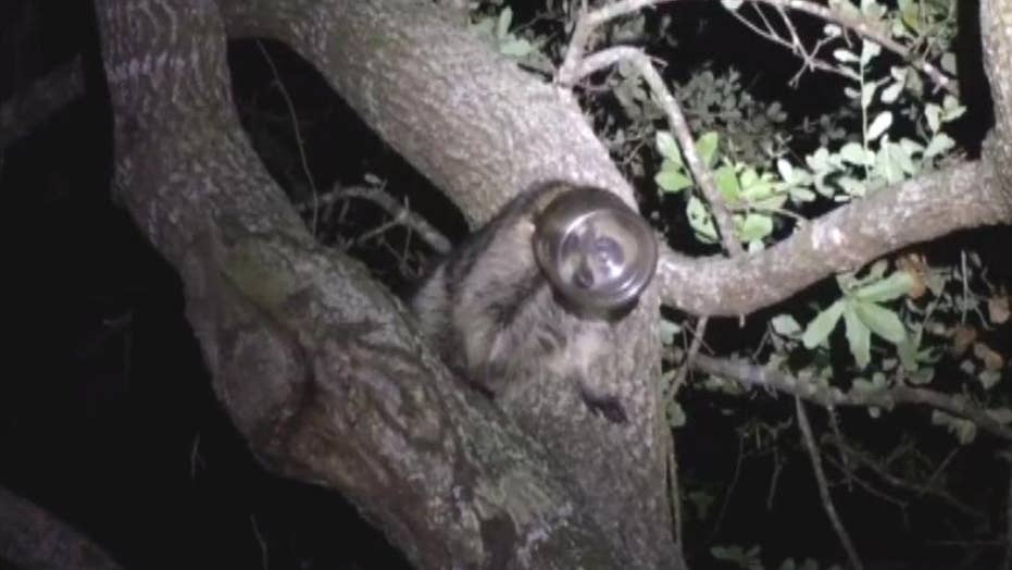 Raccoon found in a tree with its head stuck in a jar