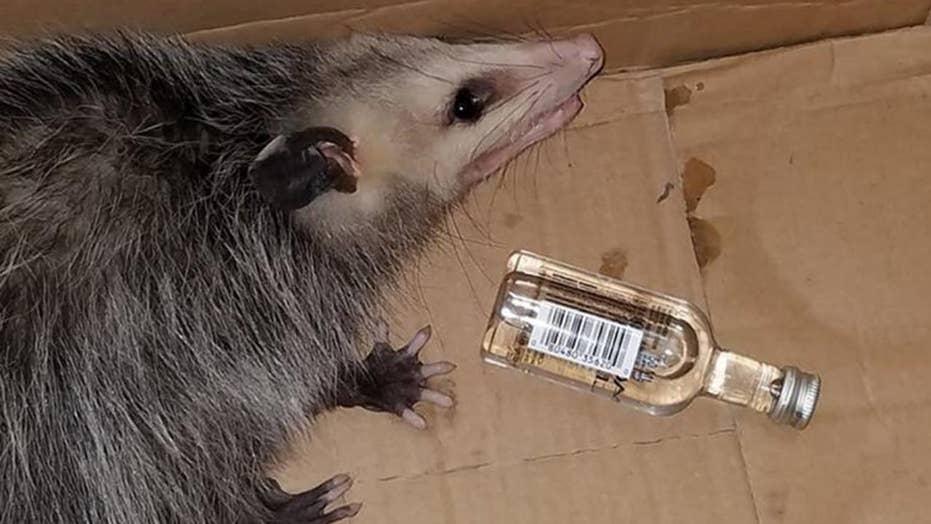 Opossum breaks into liquor store, gets drunk