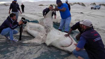 After great white shark carcasses started washing ashore in South Africa, researchers pointed the finger at an unlikely predator: killer whales.
