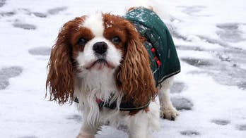 Veterinarians remind owners that the smaller the dog, the more heat it's going to lose.