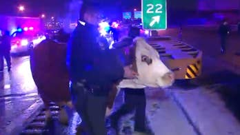 Raw video: Animal returned to church's living nativity scene after escaping twice in Philadelphia.