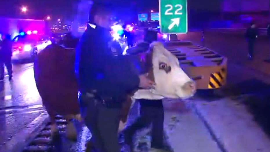 Cow that escaped nativity scene corralled by cops on highway