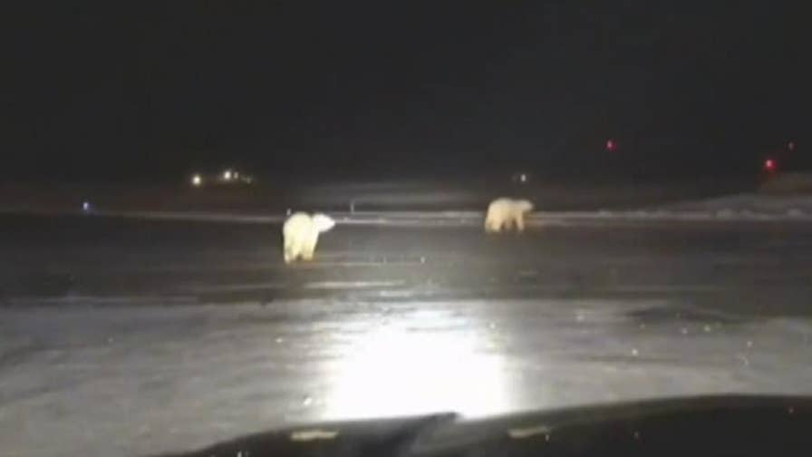 Bears caught on film at Alaska's Will Rogers-Wiley Post Memorial Airport.