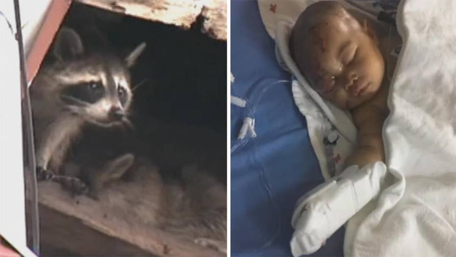 Raccoon attacks toddler in apartment causing serious injures