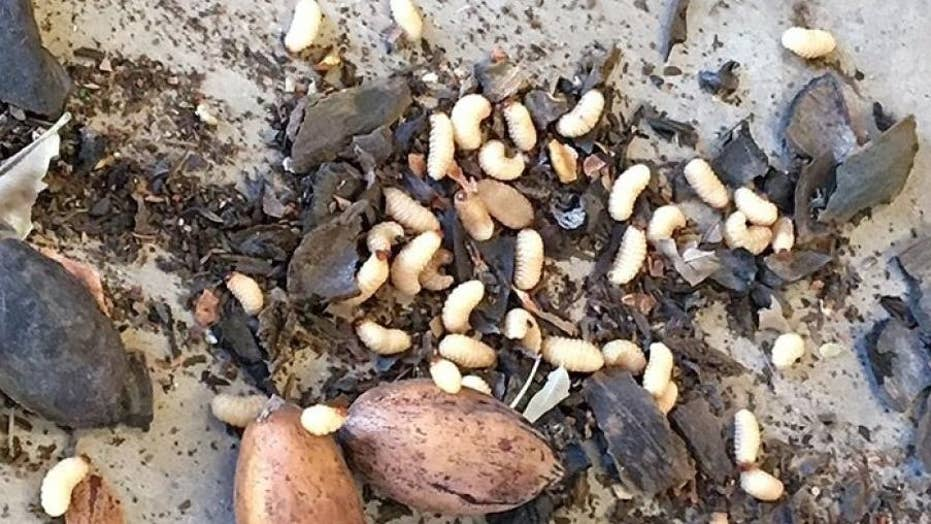 New Mexico pecan farmers worry weevil will hurt harvest