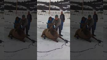 Watch as bystanders rush to save 13 elk from freezing waters.