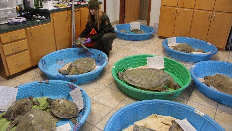 Nearly 1,000 sea turtles rescued along Texas Gulf Coast