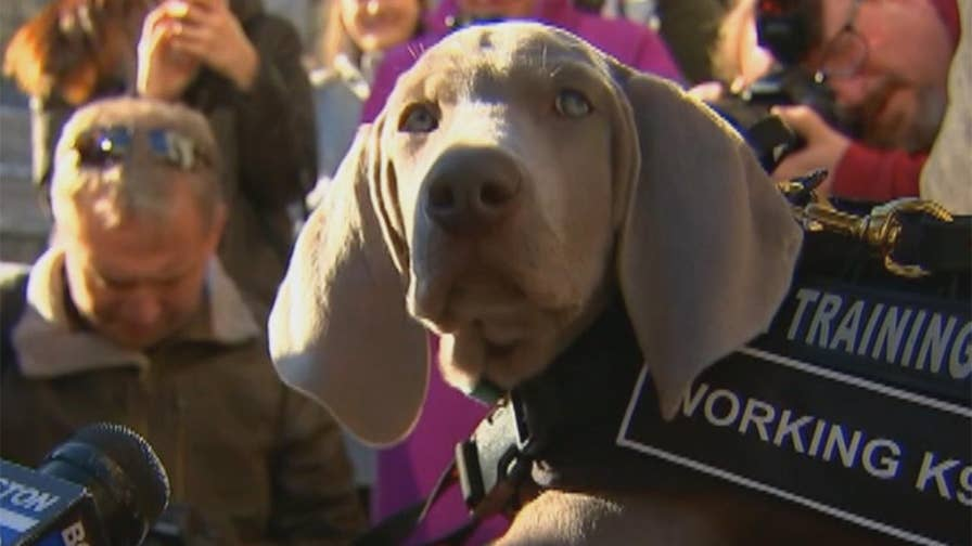 Museum of Fine Arts in Boston welcomes Weimaraner puppy named Riley who will be trained to sniff out insects that could potentially damage priceless pieces of art.