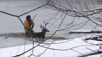 A young deer in Colorado fell through an iced-over lake. After a concerned citizen called the authorities a dive team came to the rescue, pulling the young buck out of danger.