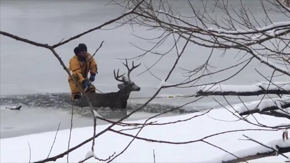 Amazing rescue: Dive teams pulls deer who fell through ice