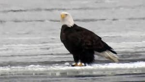 Bald eagle swoops in, grabs fish off Montana lake in close-up video