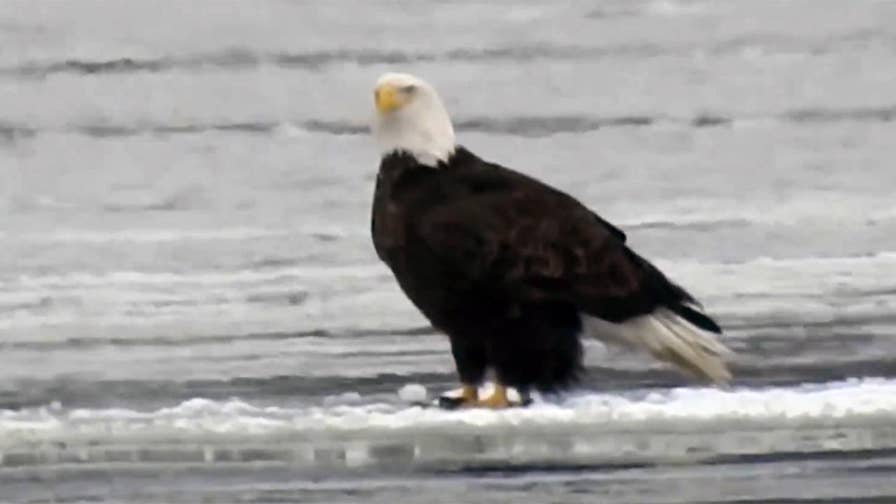 Raw video: Illinois resident Brian Woolman spots birds of prey taking slow ride down the river.