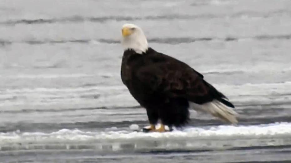 Bald eagles casually float on ice down Mississippi River