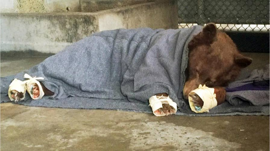 Rescuers brought two adult bears, a cub and a young mountain lion to veterinarians with the state Department of Fish and Wildlife and the University of California, Davis. Veterinarians used acupuncture, fish skins and other alternative medical treatments to help wild animals recover from the burns.