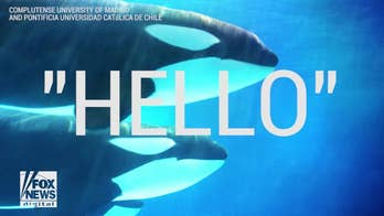 """Hello"" from the other side!  A new report shows the finding of researchers attempting to teach killer whales mimic human sounds, and yes, even speak. You have to hear it to believe it."