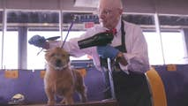 Fox News follows a Norwich Terrier named Elizabeth Taylor and her owner, Denis Johnson, through her grooming regimen hours before her debut at the Westminster Dog Show.