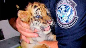 A California teen has been busted for smuggling a Bengal tiger cub from Mexico. 18-year-old Luis Valencia has been sentenced to six months in prison. The 6-week-old cub named Moka was found on the passenger-side floor in Valencia's car in August at a San Diego border checkpoint.