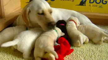 Volunteer Canine Companions for Independence breeder and caretakers look after litter of puppies.