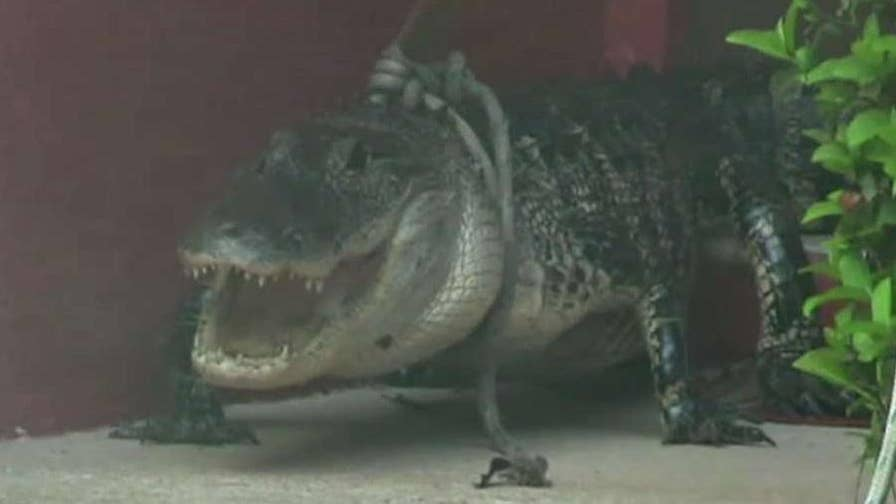 Alligator showed up on the porch of a Florida family's home.