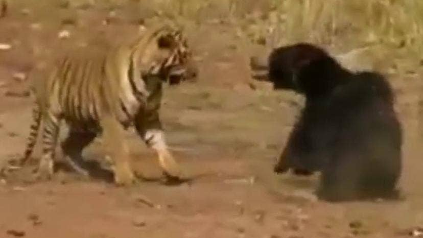 Remarkable video shows tiger and bear locked in ferocious fight