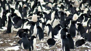 Penguin poop helps create, cultivate life in Antarctica, study claims