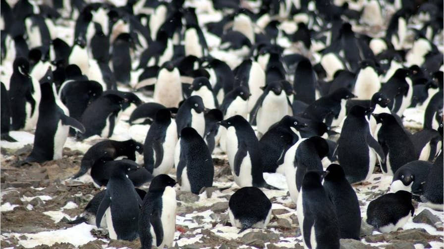A thriving 'hotspot' of 1.5 million Adelie penguins, a species fast declining in parts of the world, has been discovered on remote islands off the Antarctic Peninsula.