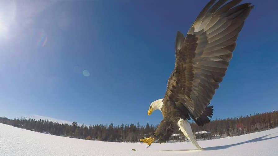 Raw video: Fisherman in Montana lays out fish and captures impressive hunting footage of predator catching its prey.