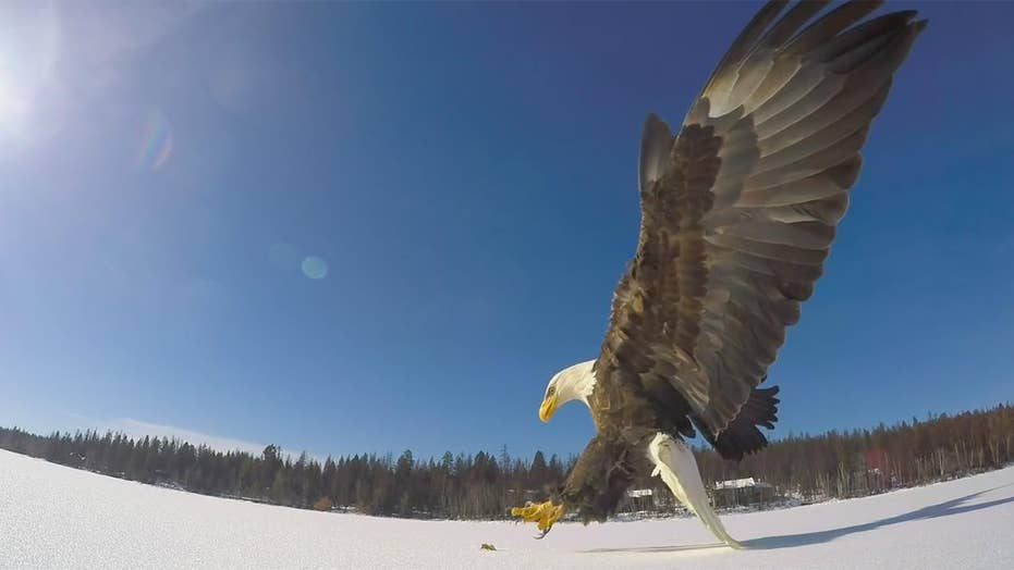 Bald eagle swoops in to grab fish in dramatic close up video