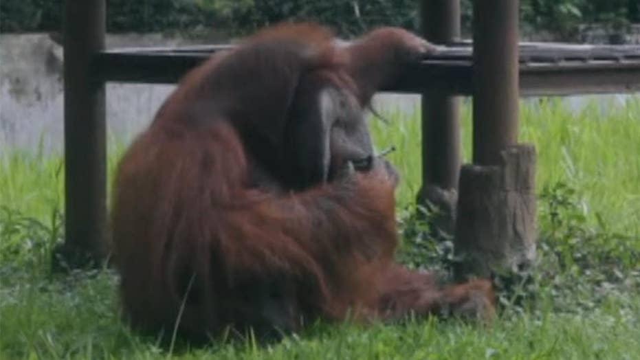 Orangutan smokes cigarette at Indonesia zoo