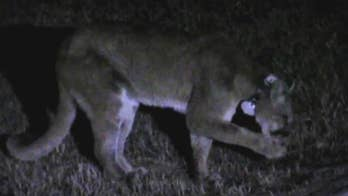 Dog walks away with puncture wounds after a mountain lion attack in its backyard in Colorado.