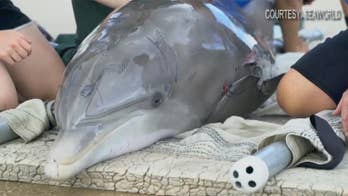Young dolphin receiving continuous care at SeaWorld after lifeguard found her washed ashore on Ponte Vedra Beach, Florida.