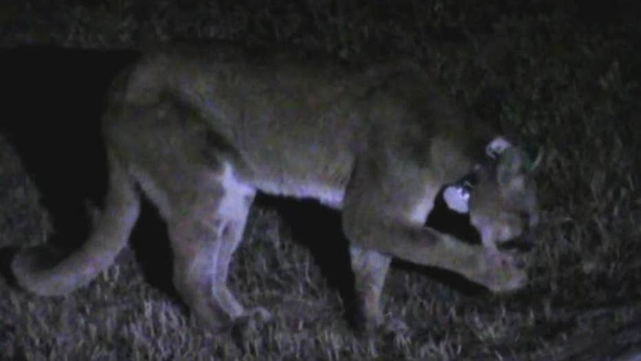 Dog survives mountain lion attack in backyard